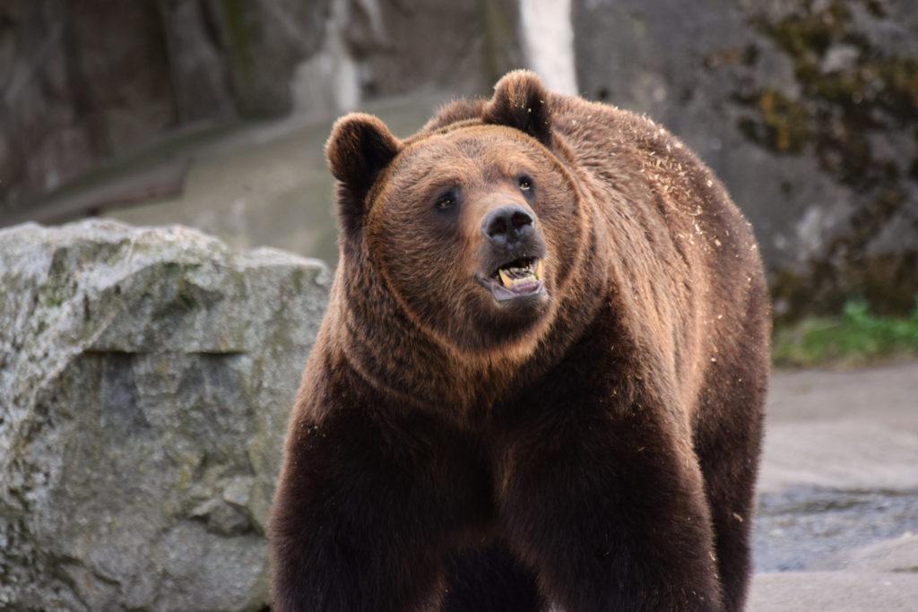 Bilde av brunbjørn